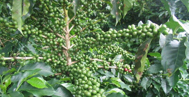 Myter om viktminskning egenskaper av grönt kaffe