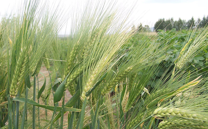 Health properties of green barley