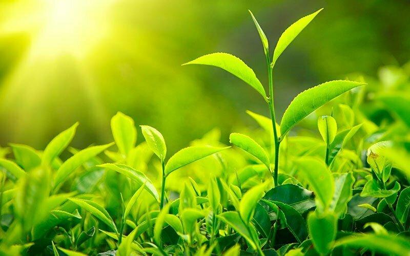 Bivirkninger af grøn te