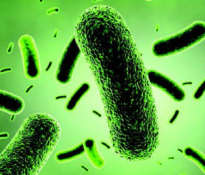 Bacillus coagulans – an effective probiotic