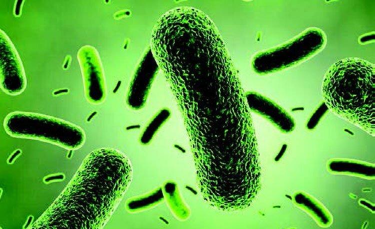 Bacillus coagulans – účinná probiotika