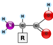 Amino acids contained in Laminine